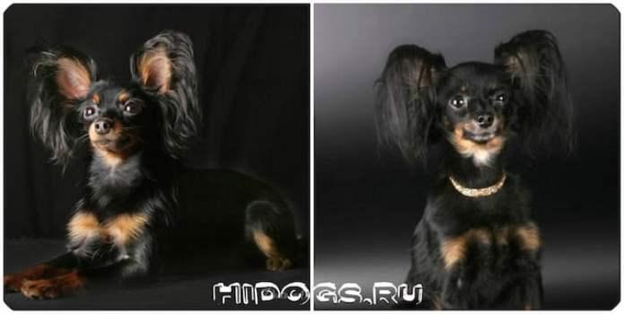 О породе русский той терьер, особенности, содержание, выбор щенка.
