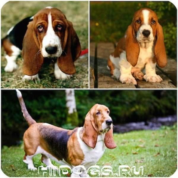 Маленькие породы собак, с большими ушами, список пород.