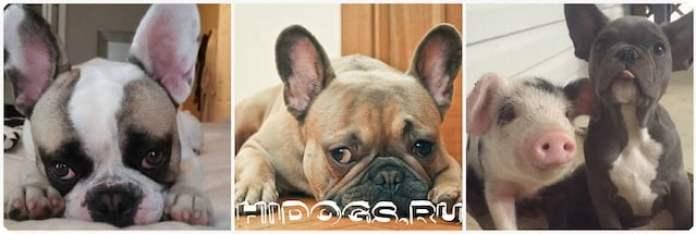 Дрессировка французского бульдога, воспитание щенка, первый год жизни собаки в дома, как приучить к туалету.