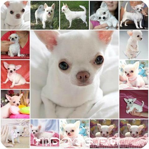 Белый чихуахуа - все расскраски собак породы чихуахуа, особенности окраса у чихуахуа, генетика окраса.