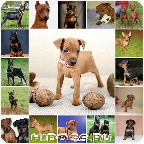О щенках цвергпинчера - особенности содержания, питание собаки, стандарт породы, выбор щенка.