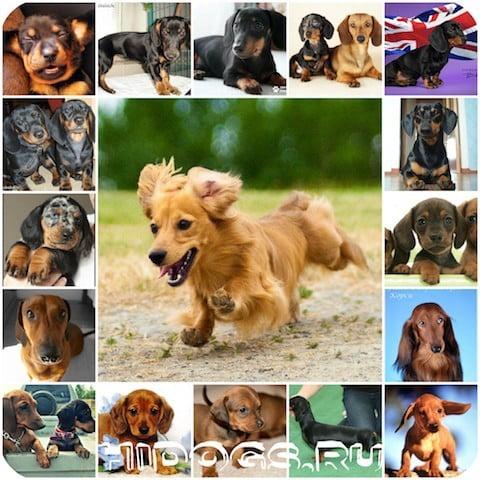 Основы правильного питания щенков таксы, чем кормить щенков собак таксы, рацион питания, корм и натуральное питание.