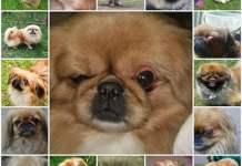 Первая помощь при выпадении глаза у пекинеса, профилактика и уход за глазами собаки.