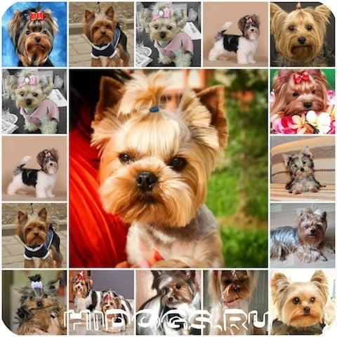 Йоркширский терьерь - начало течки у собак, продолжительность, когда начинается и сколько длится.