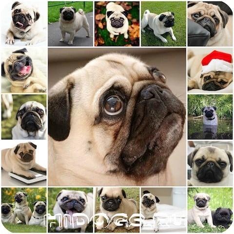 Как проходит течка у собак породы мопс, проявления, продолжительность, признаки.