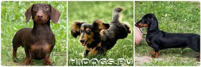 Стандарт пооды собаки такса, вес рост и правильное развитие, как выбрать щенка, воспитание и характер собаки.