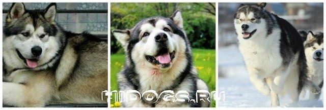 Описание породы Аляскинского маламута, особенности ухода за собакой, характер, история происхождения.
