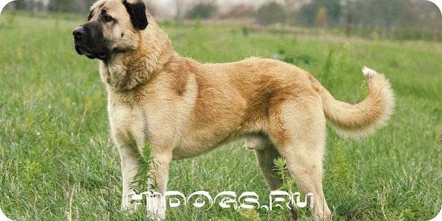 Турецкая овчарка - кангал, особенности породы, описание, характер, дрессировка и уход.