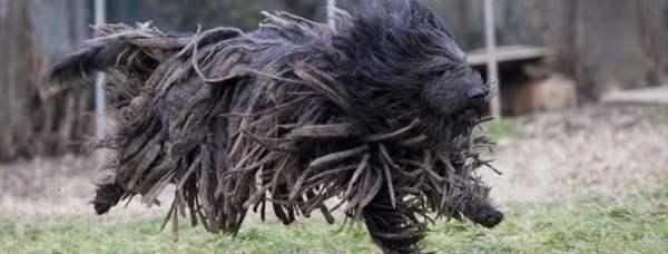 Бергамские овчарки - необычные, итальянские псы Бергамаско