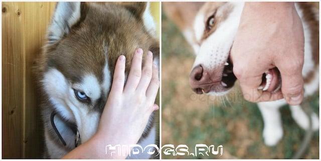 Как правильно воспитать щенка, что делать если хаски кусает руки и ноги, как отучить пса от кусания.