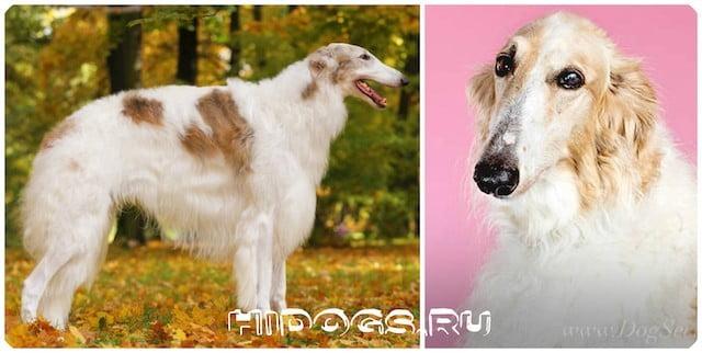 Все о породе русских борзых собак или русская псовая, стандарт и описание, уход и кормление, физическая активность и характер.