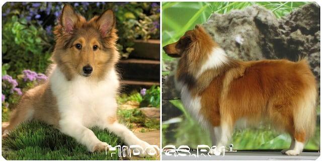 Все о породе собак Шелти, особенности содержания и кормления, воспитания, как кормить.