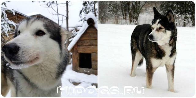 Аляскиенские собаки хаски, все о породе, описание, характер, особенности содержания, история.