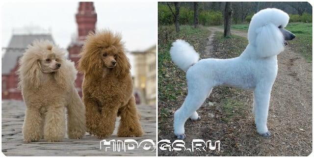 Все о породе собаки - пудель, какие окрасы и виды бывают, уход, воспитание и характер, стандарт
