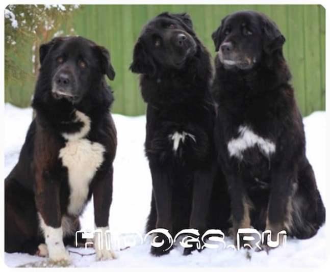 Тувинские овчарки, собака из Алтая - описание породы, содержание, поведение и особенности содержания животного.