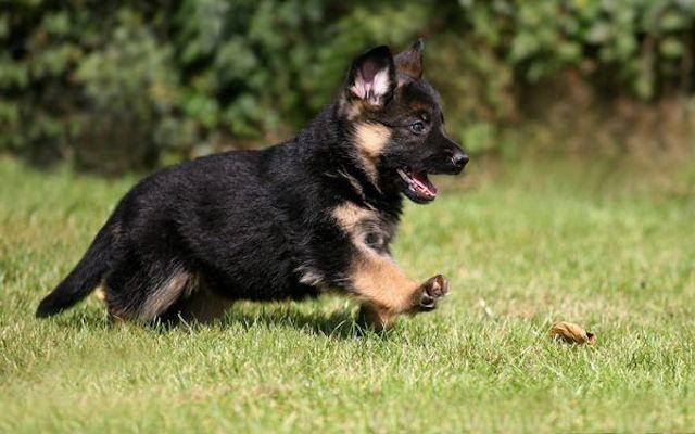 Как и когда делать первую прививку щенку немецкой овчарки, график вакцинации.