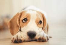 Бигль: уход и содержание в домашних условиях