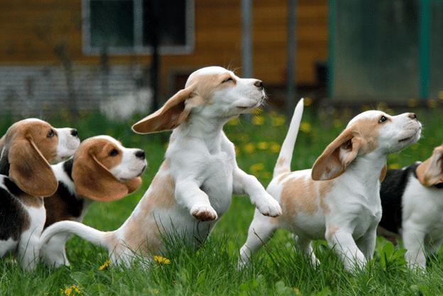 Игра щенков на улице.