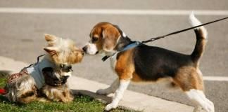 Первая течка у бигля – важный этап в жизни собаки и ее хозяина