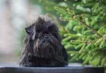 Порода аффенпинчер - щенки