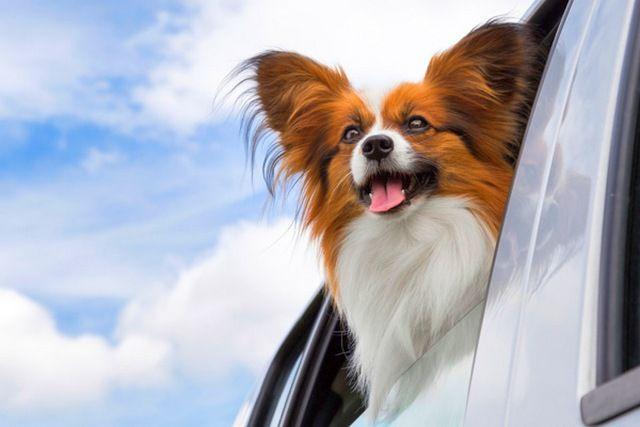 Собачка на машине.