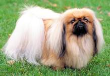 Пекинес — собака с историей, мягким характером и своими секретами