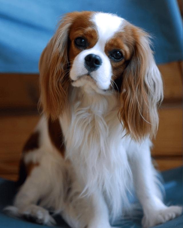 Кинг чарльз спаниель: щенки