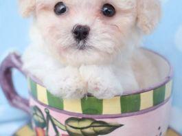 Топ 10 крошечных собак – «Чайные» собаки