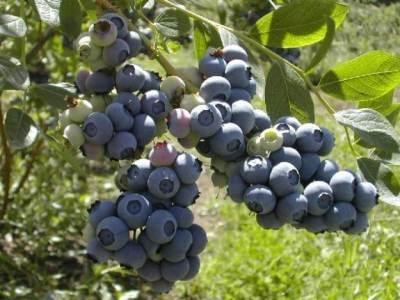 propiedades curativas del arándano común