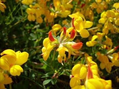 cuernecillo, lotus conriculatus