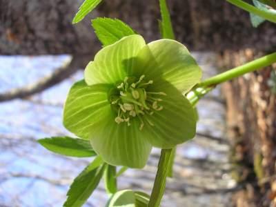 propiedades medicinales eléboro verde