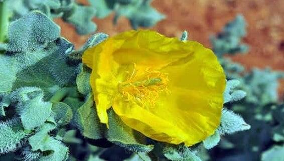 flor amarilla del glaucio
