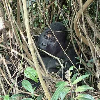 Gorilla beim Essen