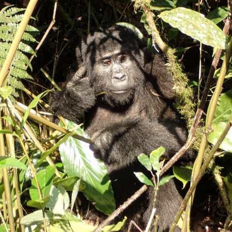 Gorilla im Wald