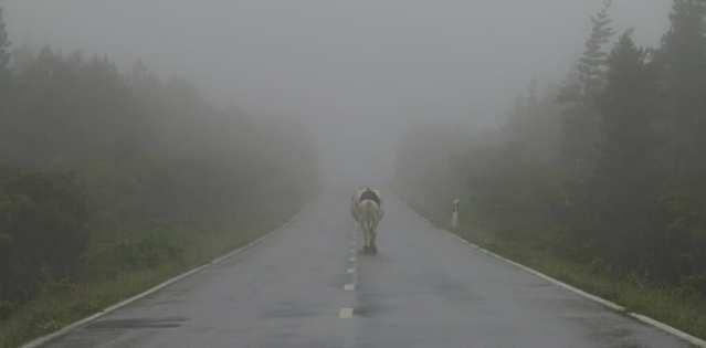 Kuh auf einsamer Straße im Nebel