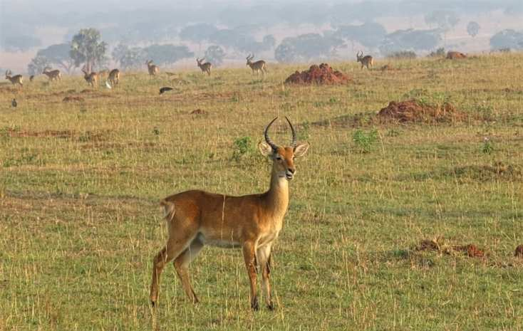 Antilopen im Murchison Falls National Park in Uganda