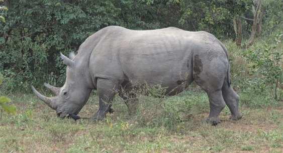 Nashorn im Ziwa Rhino Sanctuary