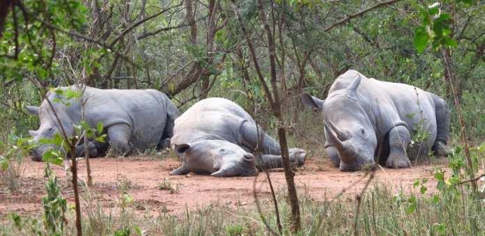 Nashörner liegend im Ziwa Rhino Sanctuary
