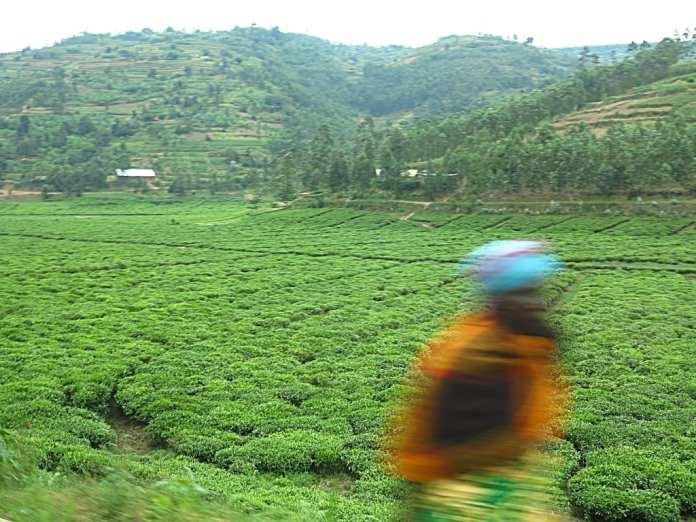 Teeplantagen in Ruanda