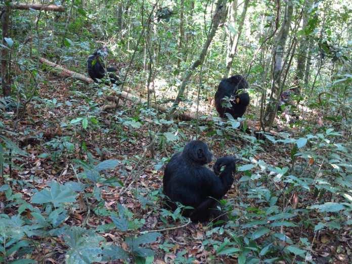 Schimpansen im Kibale-Nationalpark in Uganda