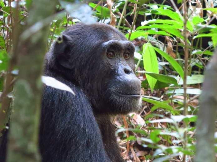 Schimpanse im Kibale-Nationalpark in Uganda