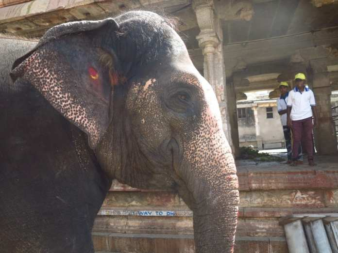 Tempelelefant Lakshimi in Hampi in Indien