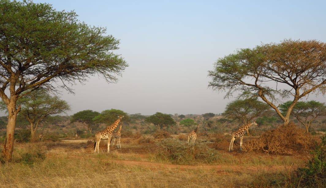 Giraffen im Murchison Falls National Park in Uganda