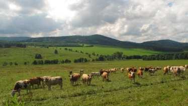 Weidende Kühe in Südböhmen