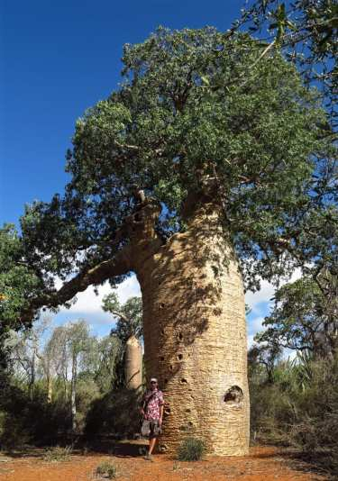 Baobab-Baum in Madagaskar