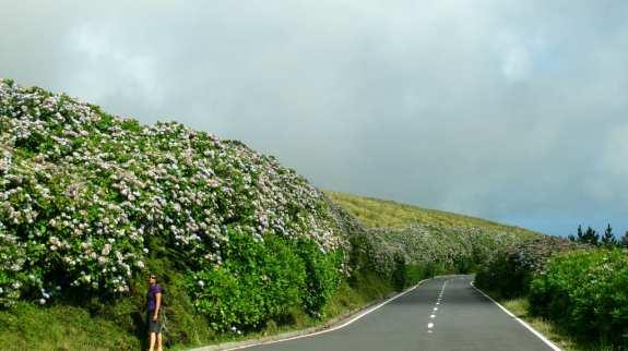 Hortensien auf Faial (Azoren)