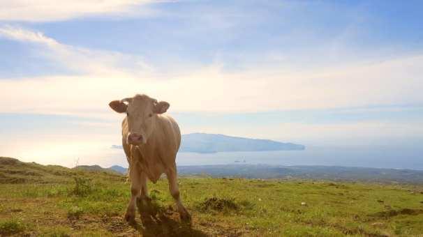 Kuh auf Pico auf den Azoren