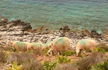 Grün bemalte Schafe auf Kreta