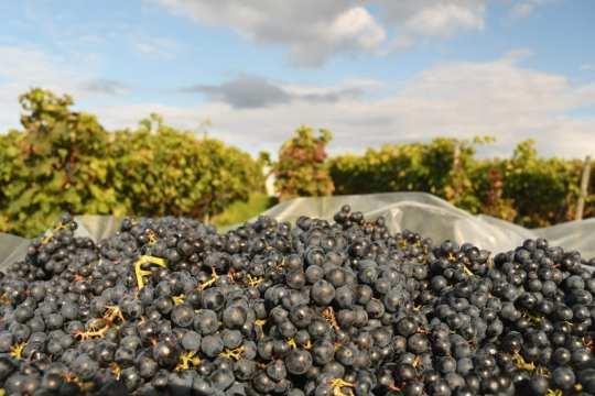 Weintrauben und ein Weinberg