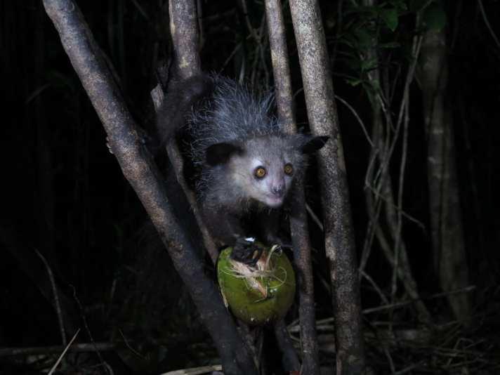 Hässliches Tier mit Kokosnuss nachts im Wald